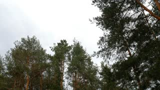 Green pine tree needles branches sky clouds