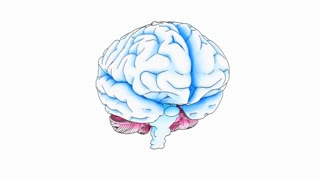 A drawing of a human brain on white background with matte