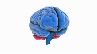 A model of human brain isolated on white with matte