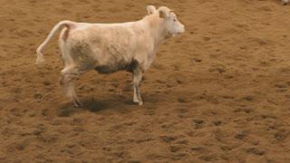 Cattle of brown calves running briskly
