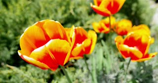 A close-up shot of red-yellow tulips swinging in the wind...