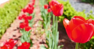 A garden of red tulips swinging in the wind...
