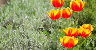 A garden of red-yellow tulips swinging in the wind...