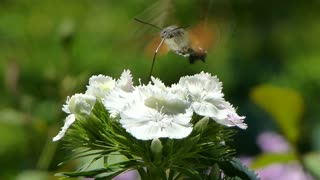 A hummingbird hawk-moth on a flower