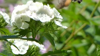 A hummingbird hawk-moth sucking the juice from the flower