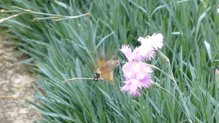 A hummingbird hawk-moth sucking the juice from the flower...