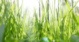 A low angle shot of grass, the shot moves up and down...