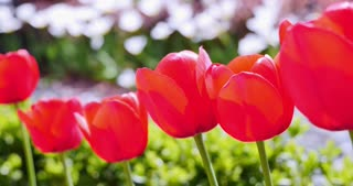 A row of red tulips next to each other...