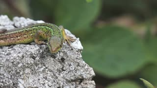 A wall lizard lying on a stone and listens to any movement...