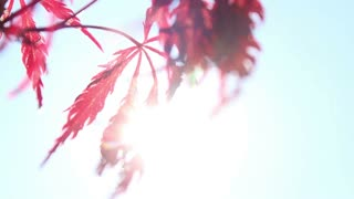 Beautiful summer red tree leaves swinging in the wind with sun flares...