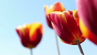 Close-up footage of red-yellow tulips swinging in the wind...