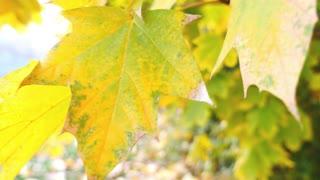 Close up shot of a colorful autumn leaf...