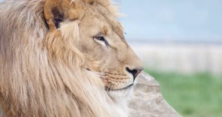 Close up shot of an African lions head-he is looking straight to camera...