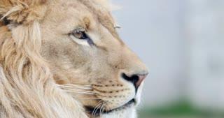 Close up shot of an African lions head...