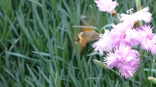 Following a hummingbird hawk-moth jumping from flower to flower