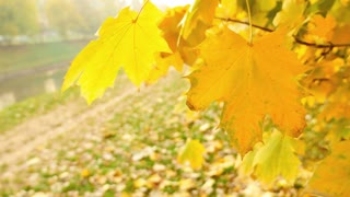 Footage of a fall scene, leafs swinging in the wind and a leaf falling from the tree...
