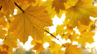 Footage of a fall season, the shot is taken under a colorful tree, the leaves are in swinging the wind...