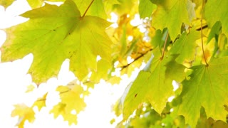 Footage of a fall season, the shot is taken under a colorful tree...