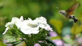 Footage of a hummingbird hawk-moth gathering food from a flower