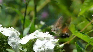 Footage of a hummingbird hawk-moth gathering food from a flower...