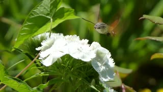 Footage of a hummingbird hawk-moth sucking the juice from the flower