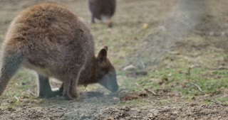 Footage of a Red-necked wallaby (Macropus rufogriseus) searching for something to eat...