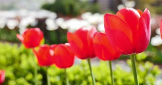 Footage of a row of red tulips in a garden...