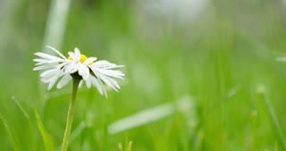 Footage of a single chamomille flower on a meadow...