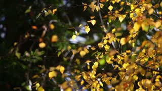 Footage of a tree leaves at a windy weather and autumn time...