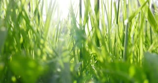 Footage of grass on a meadow, the shot moves from the bottom to the top...