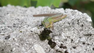 Front view of a lizzard lying on a stone...