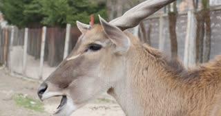 Side shot of an eland antelope eating...