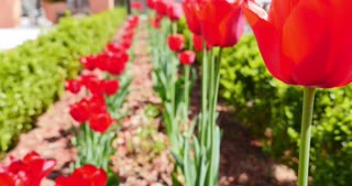 Two rows of red tulips swinging in the wind...