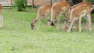 Several deers eating grass near a rural settlement...