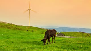 Cows graze while the windmills turn. Time lapse clip at sunset