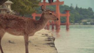 Deer on Miyajima Island in front of the famous orange gateof Itsukushima shrine