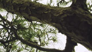 Moving shot under a Japanese pine tree