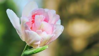 Pink Tulip in springtime