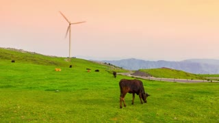Time lapse of cows grazing while windmills spin