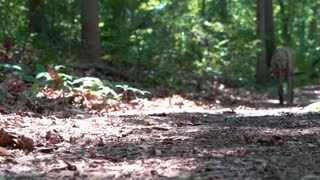 Man walking his greyhound on a forest trail