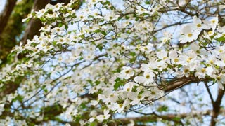 White dogwood tree branch moving in the wind in spring