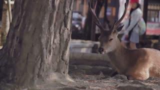 Wild deer on Miyajima Island, Japan.