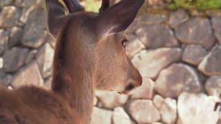 Wild deer on Miyajima Island watches tourists