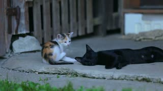 Adorable little kitty playing with grown up cat. Long shot of baby cat playing with older black cat mother.