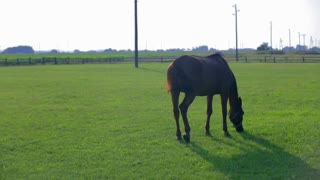 Arabian horse feeding on big ranch grass. Wide shot of horse on a ranch behind the fence on big green lawn.