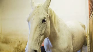 Beautiful Lipizzan horse in stable. Medium shot of white Lipizzan standing in stable while person in background cleaning.