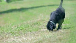Black retriever dog smelling something in grass. Long shot of Labrador free on green lawn sniffing around.