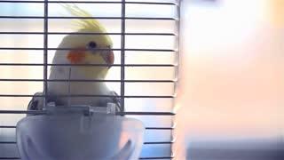 Caged Cockatiel Bird in Slow motion