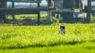 Cat in grass watching around. Long shot of black and white cat in green grass looking around for pray.