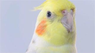 Close Up Head of Bird Cockatiel on Gray Background